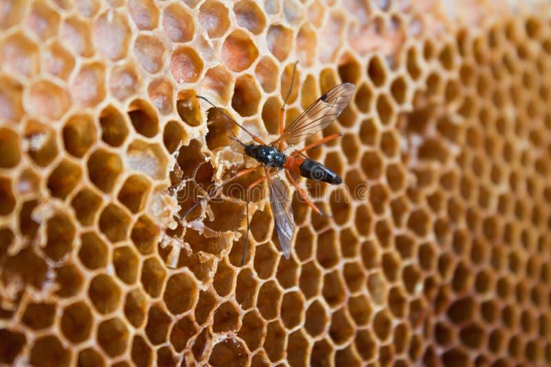 吃蜂蜜黄蜂 库存照片