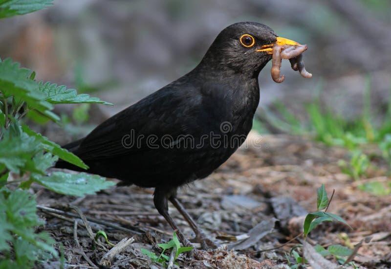 吃蠕虫的黑鹂 库存图片