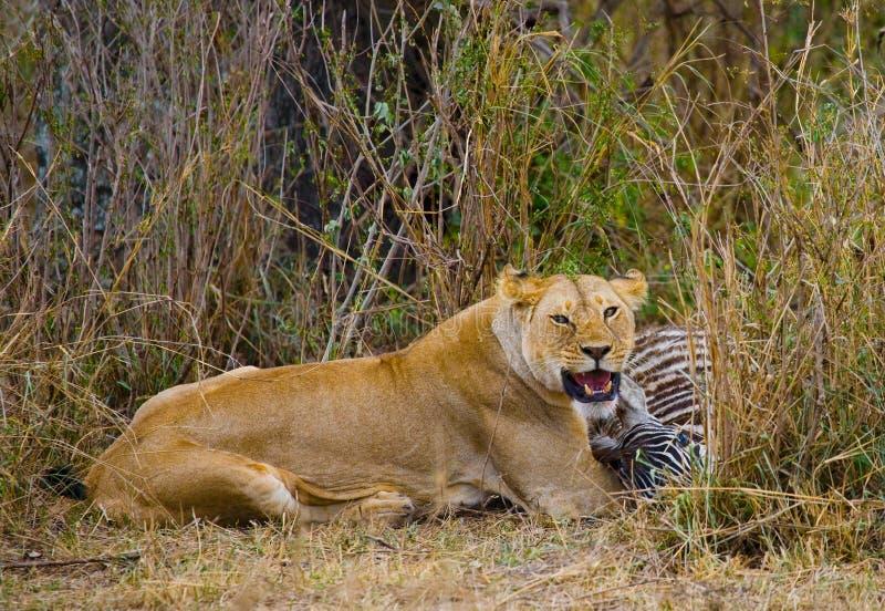吃被杀死的斑马的雌狮 国家公园 肯尼亚 坦桑尼亚 mara马塞语 serengeti 免版税库存照片
