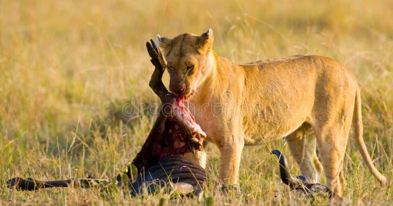 吃被杀死的角马国家公园的雌狮 肯尼亚 坦桑尼亚 mara马塞语 serengeti 免版税图库摄影