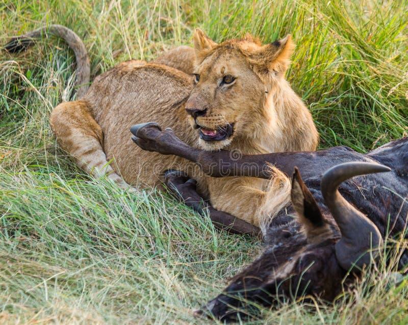吃被杀死的角马国家公园的雌狮 肯尼亚 坦桑尼亚 mara马塞语 serengeti 库存照片