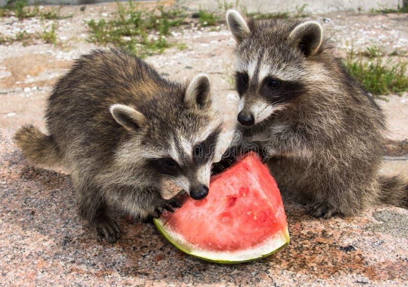 吃西瓜的两头小浣熊 免版税库存照片