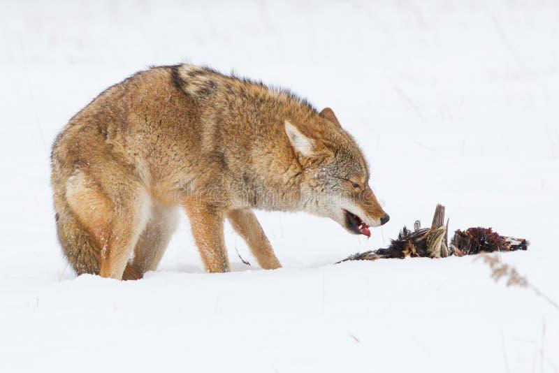 吃野鸡的土狼 免版税库存图片