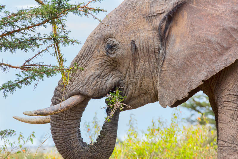 吃金合欢叶子和吠声的非洲大象 库存图片