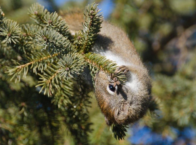 吃针叶树锥体种子的饥饿的灰鼠松鼠科动物 库存照片