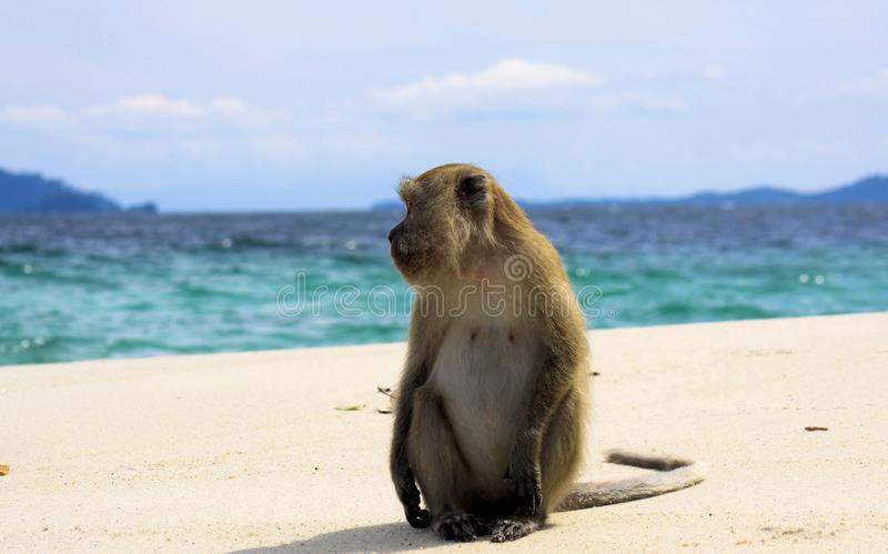 吃长尾的短尾猿,在偏僻的海滩的猕猴属fascicularis的孤独的猴子螃蟹与风大浪急的海面 免版税库存图片