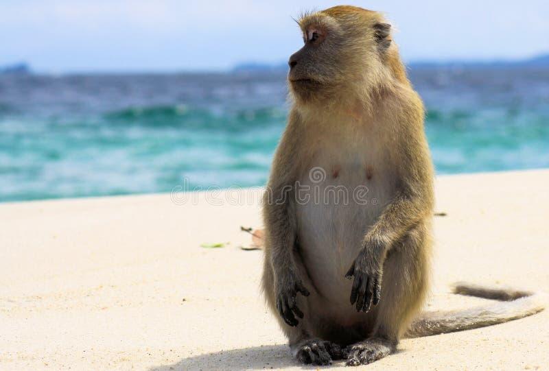 吃长尾的短尾猿,在偏僻的海滩的猕猴属fascicularis的孤独的猴子螃蟹与风大浪急的海面 免版税库存照片
