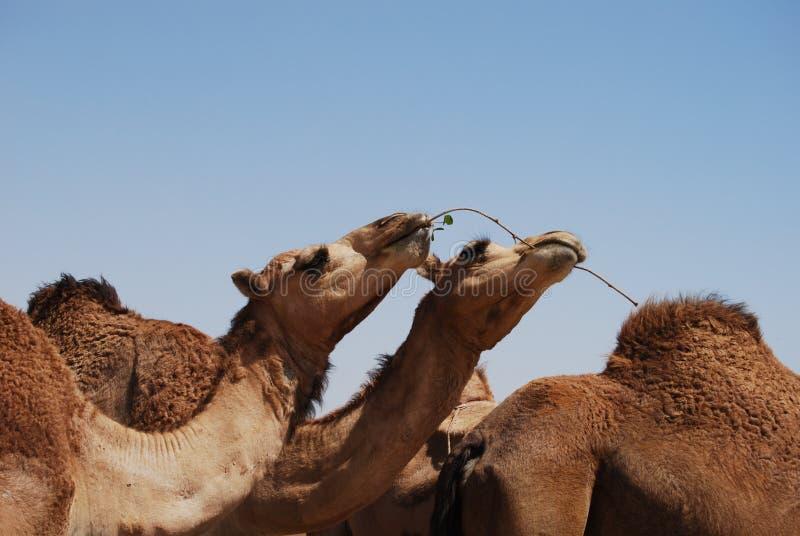 吃阿曼的骆驼 库存照片