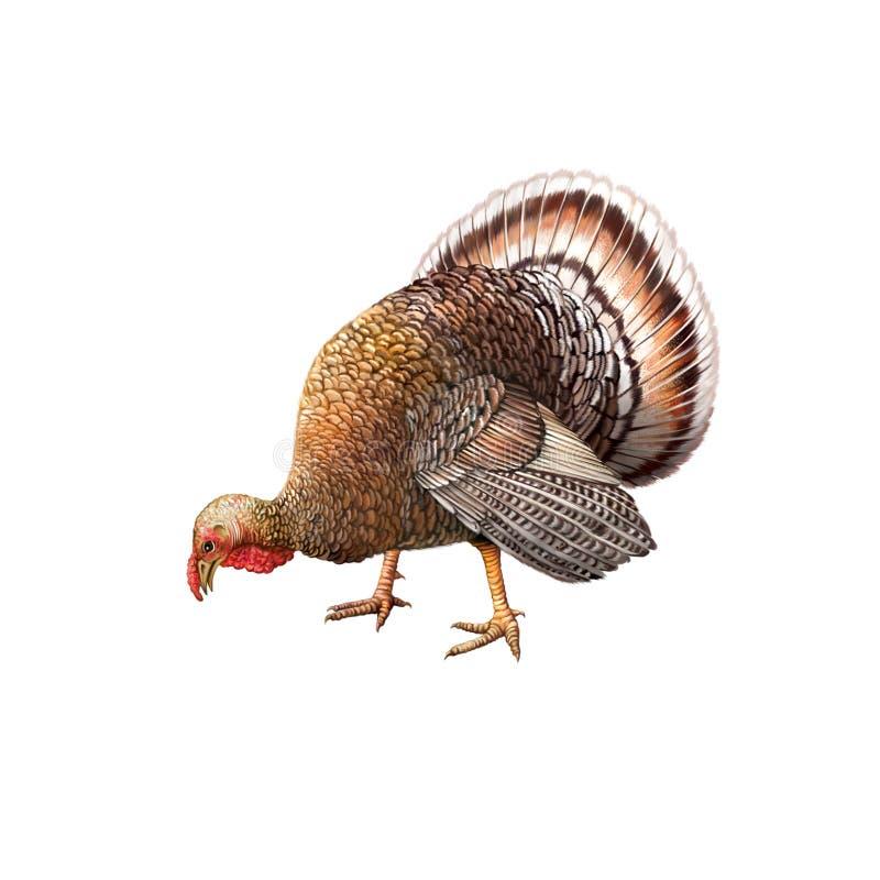 吃食物弯的公火鸡下来朝向 库存例证