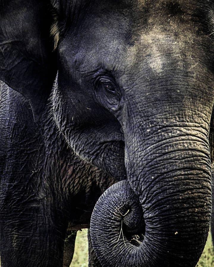 吃食物的婴孩斯里兰卡的大象 免版税库存图片
