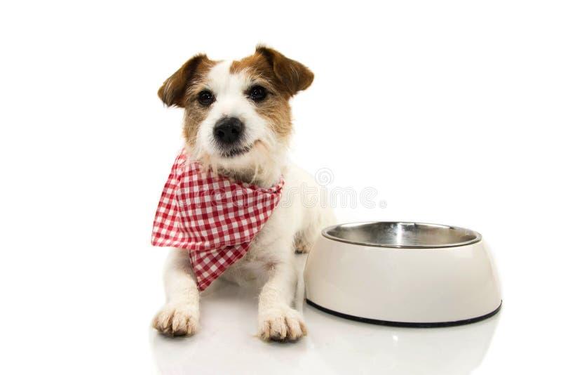 吃食物的愉快的狗 杰克微笑与一块方格的餐巾的罗素躺下在一个空的碗旁边 反对白色的被隔绝的射击 免版税图库摄影