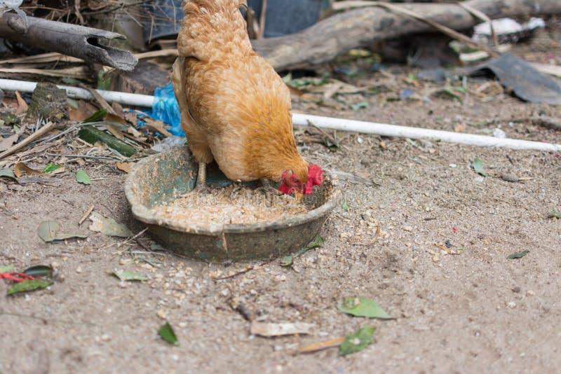 吃食物的母鸡 免版税库存图片