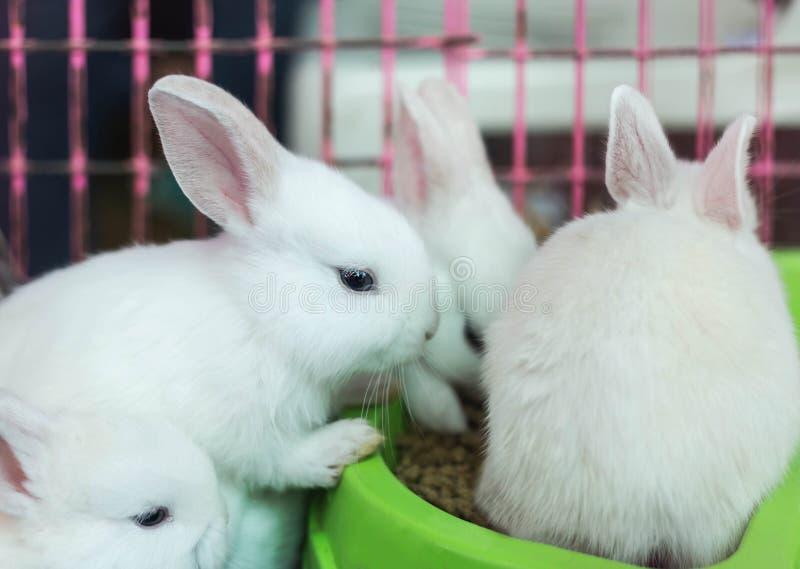 吃食物的白色小兔子 免版税库存图片