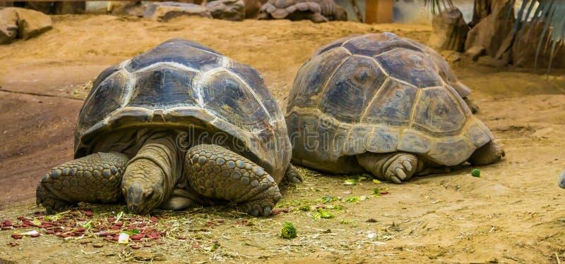 吃食物的阿尔达布拉环礁巨型草龟、哺养的动物和的宠物,从塞舌尔的大热带土地乌龟和马达加斯加,爬行动物 免版税库存图片