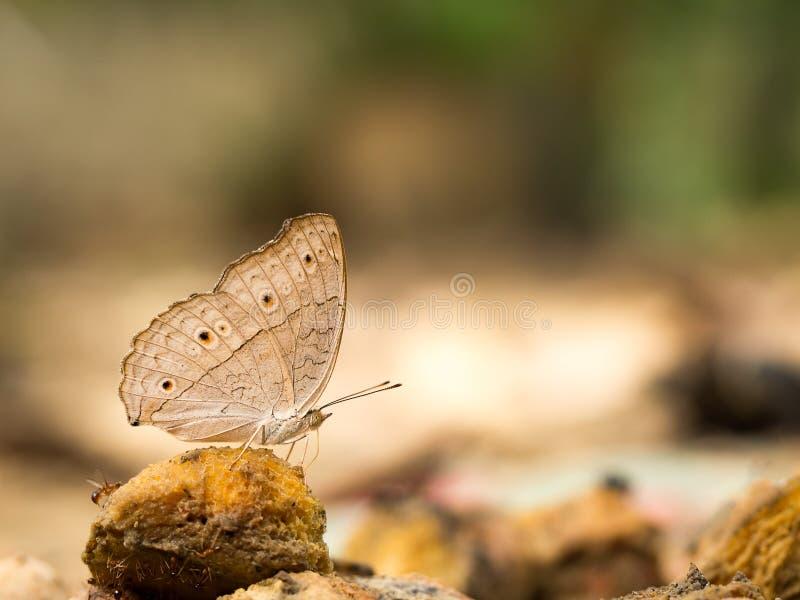 吃食物的蝴蝶特写镜头宏指令在密林自然秀丽  库存照片
