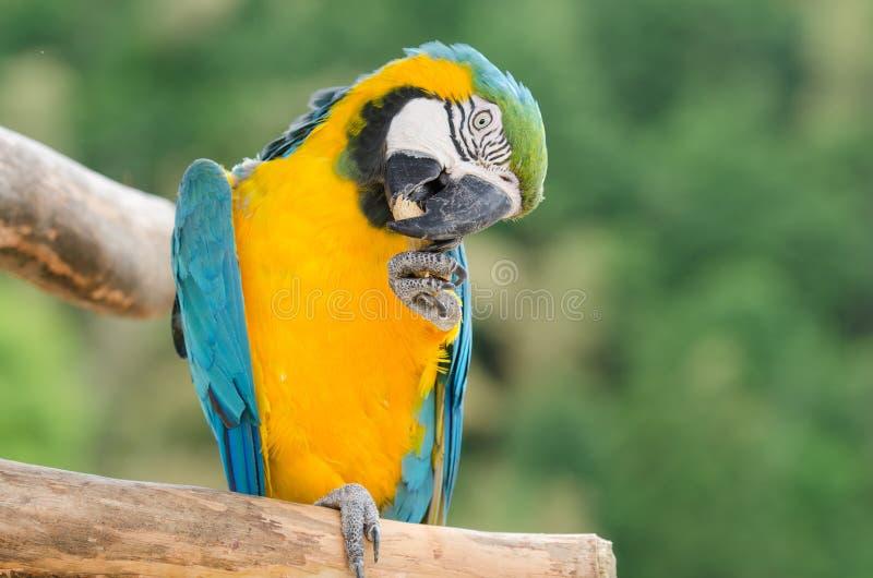 吃饲料的美丽的蓝色和金金刚鹦鹉鹦鹉 图库摄影