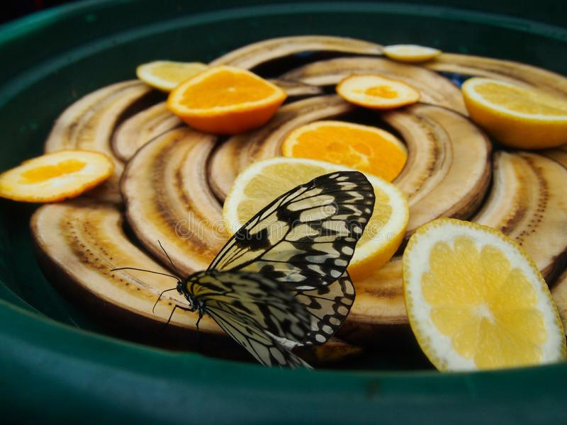 吃香蕉和桔子的Glasswing蝴蝶葛丽泰oto刷子有脚的蝴蝶 库存照片