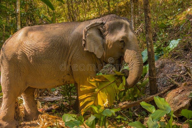 吃香蕉树的亚洲女性大象 库存图片
