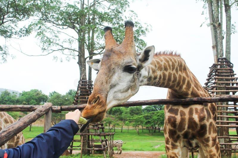 吃香蕉的长颈鹿 免版税库存照片
