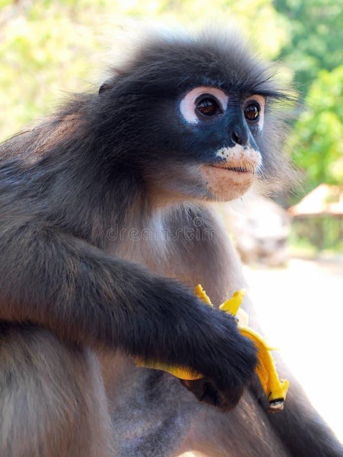 吃香蕉的戴了眼镜叶猴(Trachypithecus obscurus) 库存照片