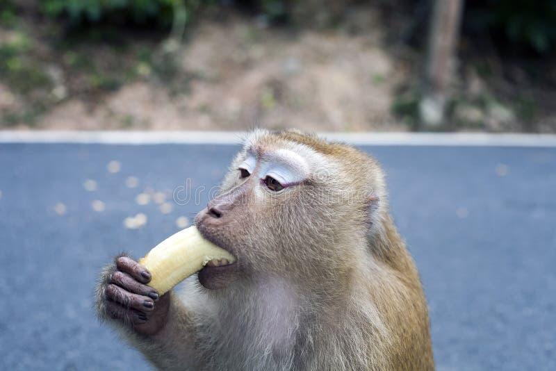 吃香蕉,画象,泰国的短尾猿猴子 免版税库存照片
