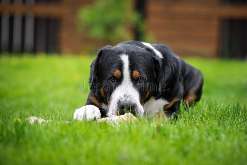 吃骨头的更加伟大的瑞士山狗 免版税库存照片
