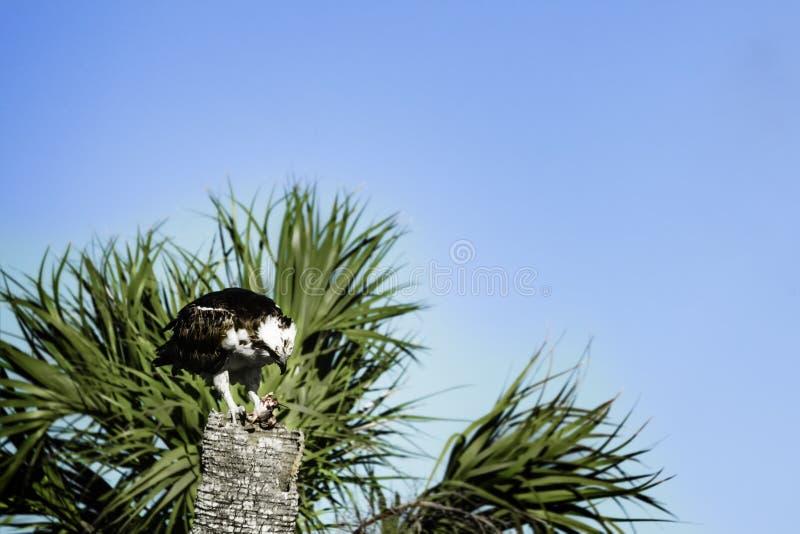 吃鱼白鹭的羽毛 免版税图库摄影