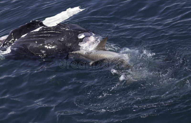 吃鲸鱼的鲨鱼 免版税图库摄影