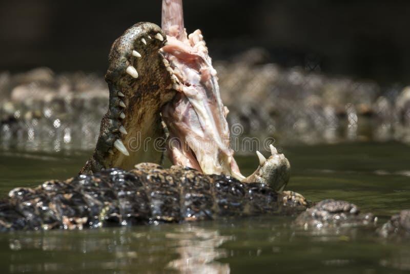 吃鳄鱼在河 免版税库存照片