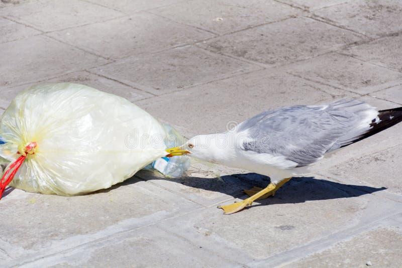 吃从在街道上的塑料袋的海鸥 免版税库存图片