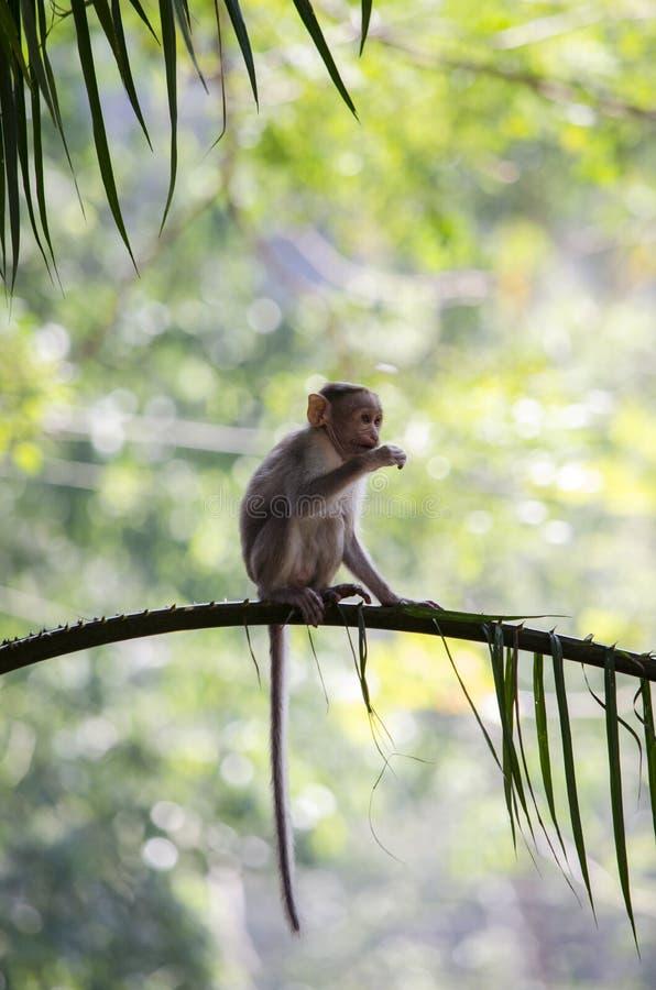 吃从树的婴孩帽子短尾猿猴子的图象叶子 免版税库存照片