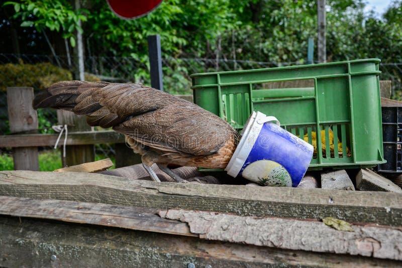 吃从桶的菲尼斯母鸡鸡的饲料在传统农村脱粒场,在桶的棍子头 免版税库存图片