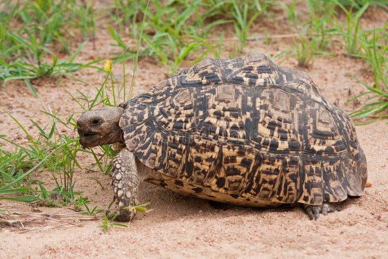 吃绿草的草龟 免版税库存照片