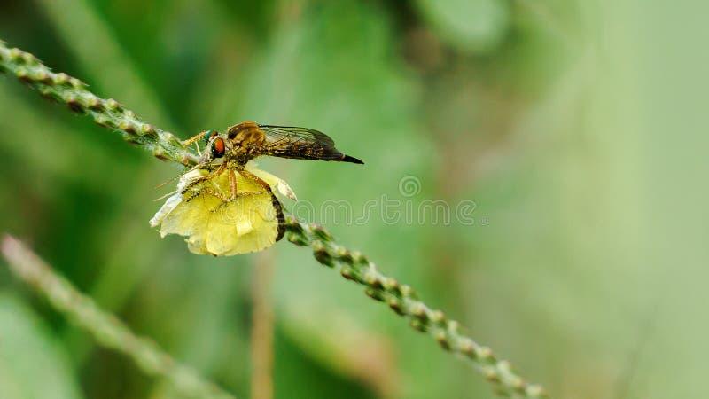 吃蝴蝶的食虫虻 库存图片