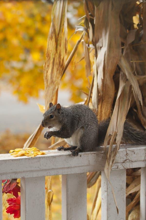吃从装饰玉米茎的一只饥饿的灰鼠玉米 库存图片