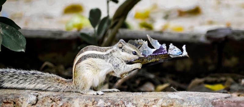 吃dairymilk的灰鼠 免版税库存图片