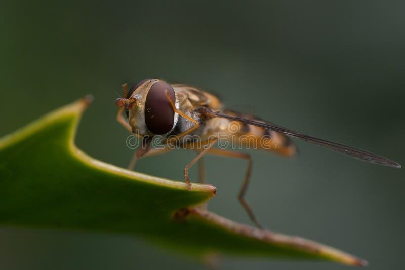 吃hoverfly花蜜 图库摄影