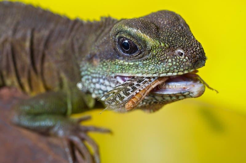 吃inse的美丽的水龙蜥蜴爬行动物画象  免版税库存照片