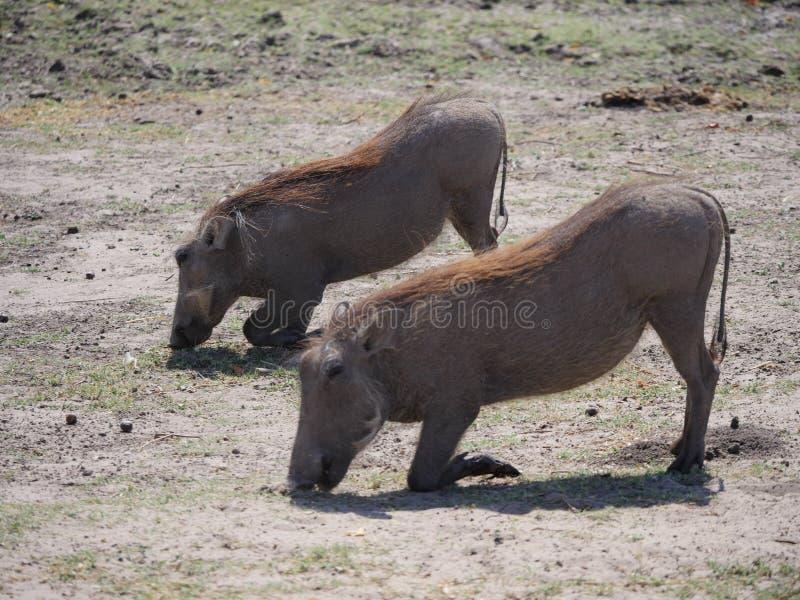 吃warthog在乔贝国家公园 免版税库存图片