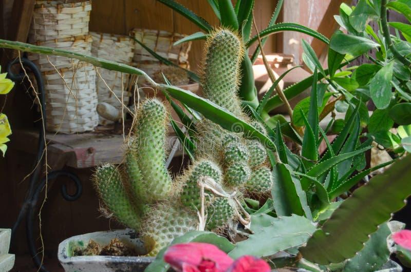 各种各样的仙人掌和多汁植物的汇集用不同的罐 盆的仙人掌房子植物 库存照片