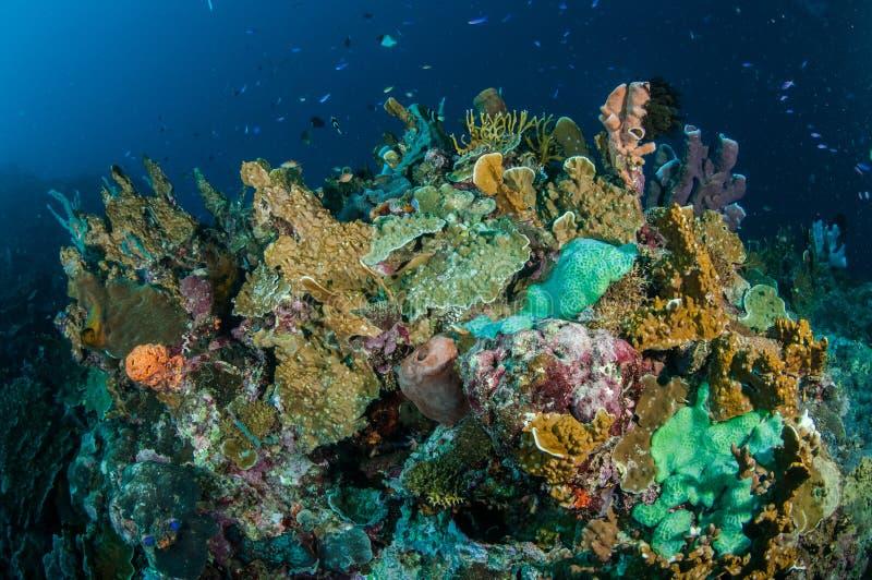 各种各样的坚硬珊瑚礁和Callyspongia海绵在哥伦打洛市,印度尼西亚水下的照片 免版税库存照片