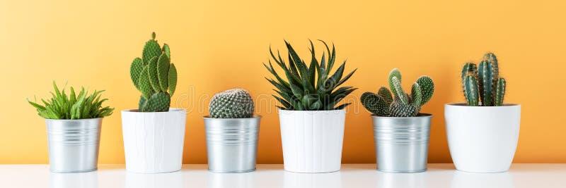 各种各样的盆的仙人掌和多汁植物的汇集白色架子的反对温暖的黄色上色了墙壁 议院种植横幅 库存图片
