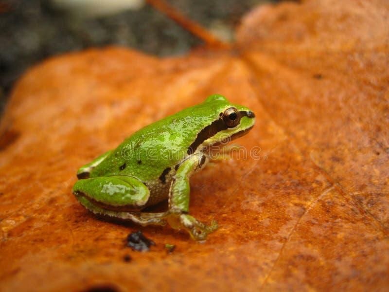 合唱青蛙和平的pseudacris regilla 库存照片