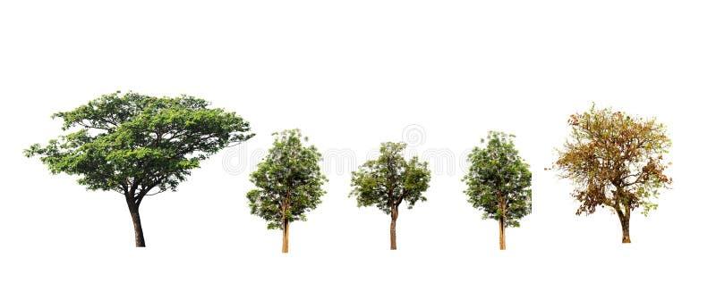 合欢或东印度人核桃树和印度楝树和在白色背景隔绝的拙劣的柚木树或者Kino树 免版税库存图片