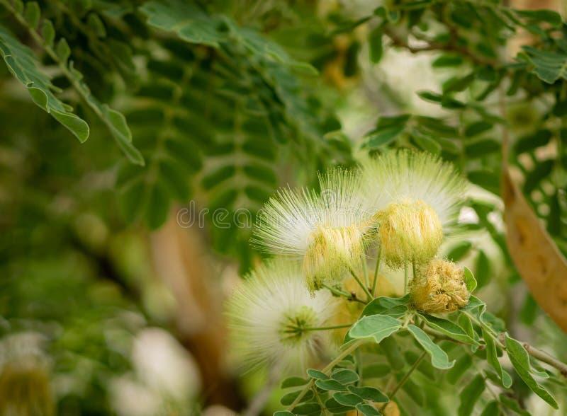 合欢树lebbeck绽放用种子荚 图库摄影