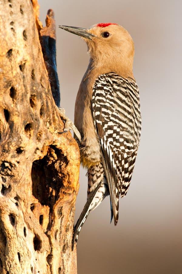 吉拉啄木鸟 免版税库存图片