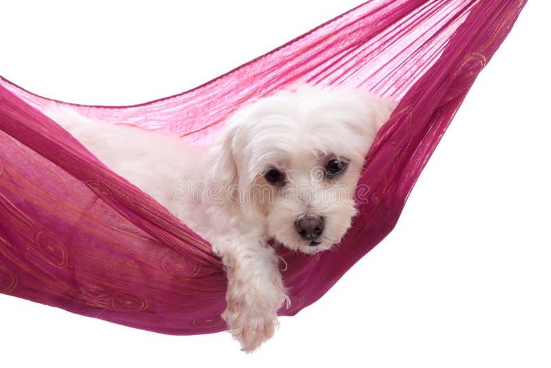 吊床位于的被纵容的小狗 库存图片