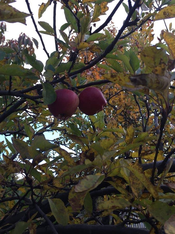 同时在苹果树 库存照片