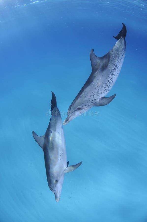 同时游泳在巴哈马的清楚的水域的中对海豚 免版税库存照片