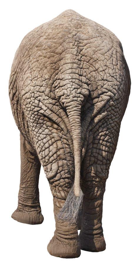 后侧方靶垛大象末端滑稽的查出的后&# 免版税图库摄影